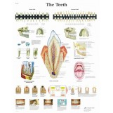 Plakat - The Teeth - Ząb